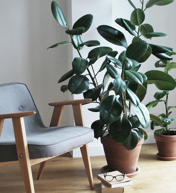 rośliny we wnętrzach, fikus
