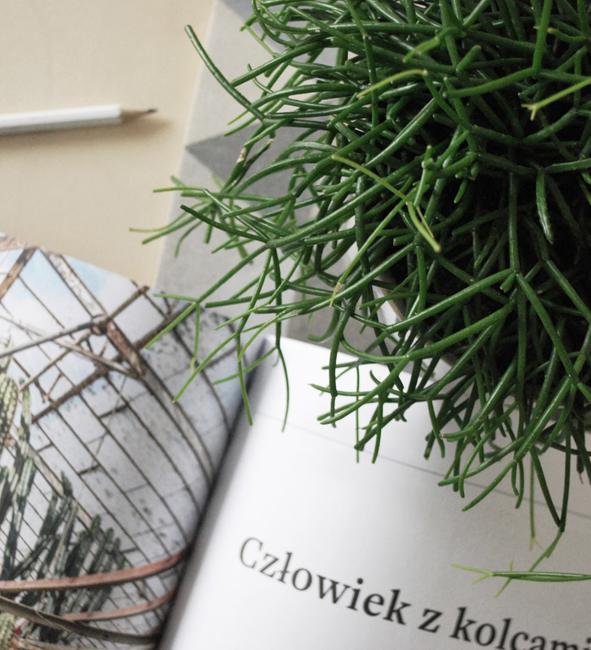 rośliny we wnętrzach, patyczak